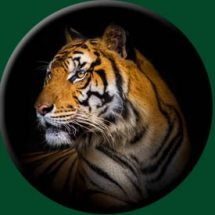 tiger-wheelcover