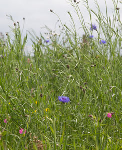 wild-flower-meadows