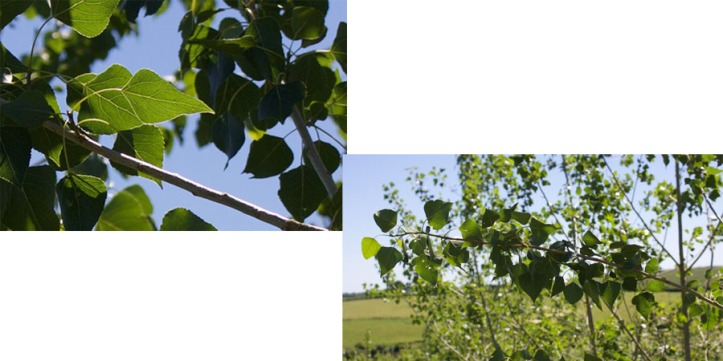 poplar 2